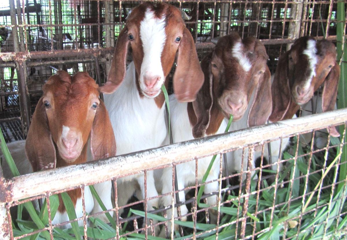 Stall Feeding Goat Farming System1