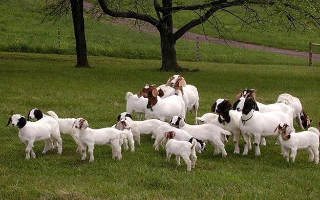 Free goat farm business plan