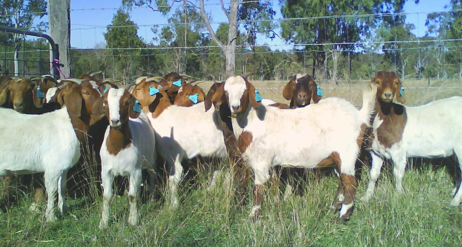Goat Farming In India (Full Business Guide)