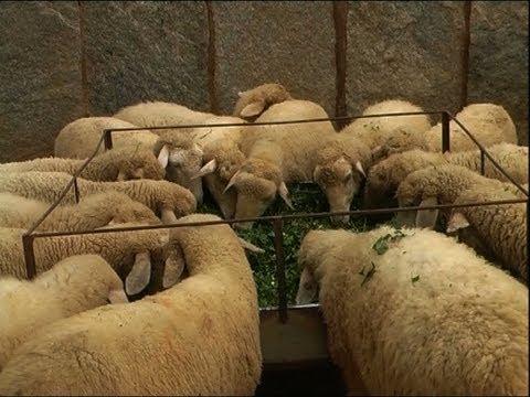Karnataka Sheep Farmin...