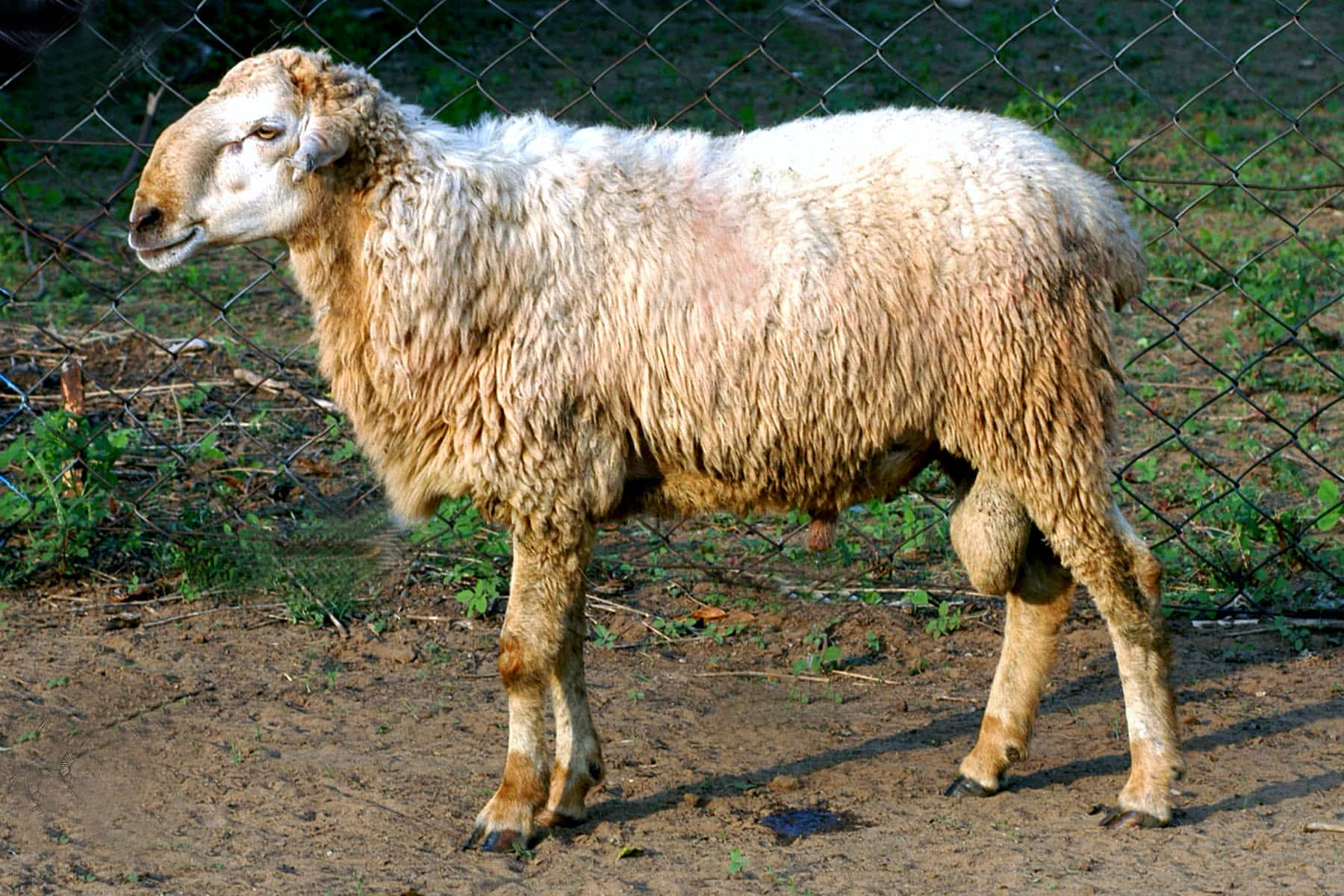 Malpura India  city photos : Malpura Sheep Breed by Crossbreeding | http://www.sheepfarm.in/ | http ...