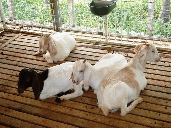 Stall Fed Goat Sheep Farming Goat Farms In Tamilnadu