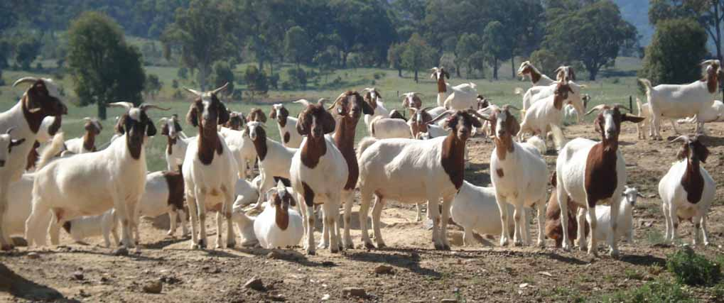 Goat Farming Project Report: Set up Cost & Profit Margin