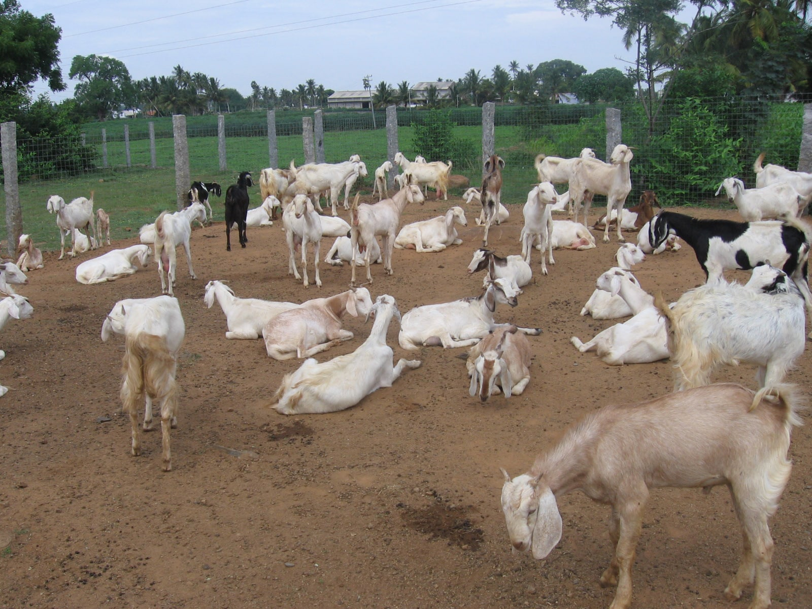 The gallery for --> Beetal Goat Farming
