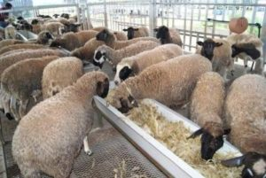 Sheep farm business plan